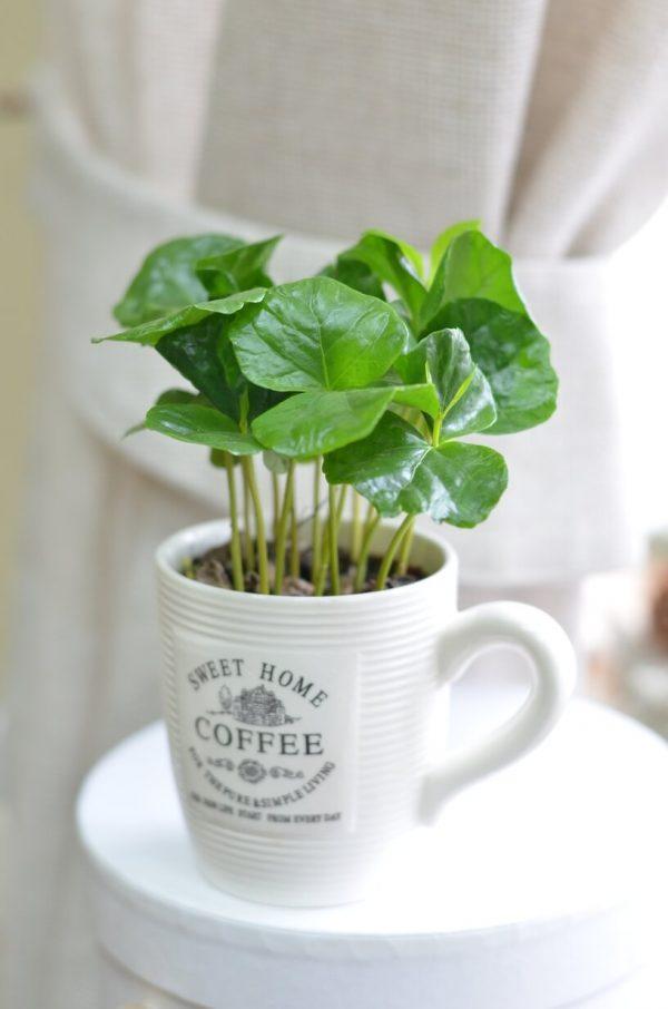Купить комнатное растение Кофе в Гомеле