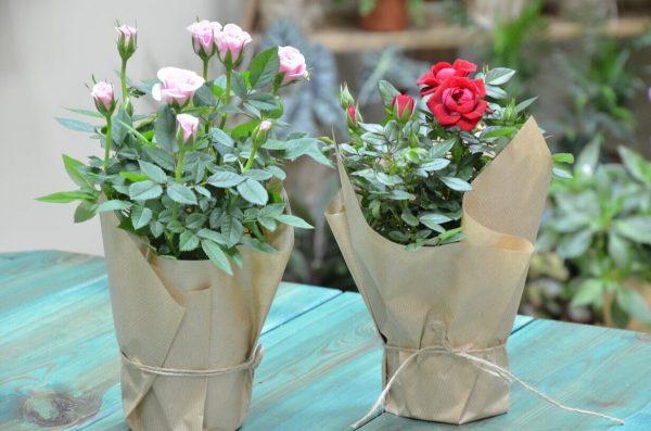 Комнатная роза в горшке купить в Гомеле